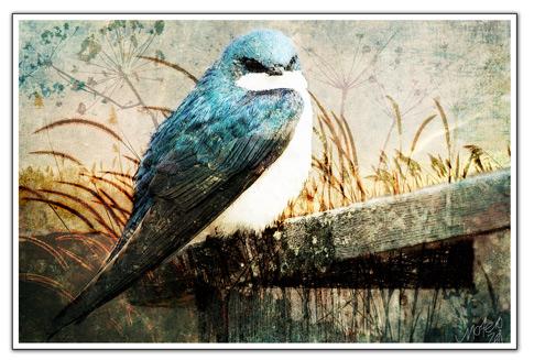 Mo_bluebird_sm2