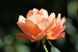 Mo_rosepainting_original
